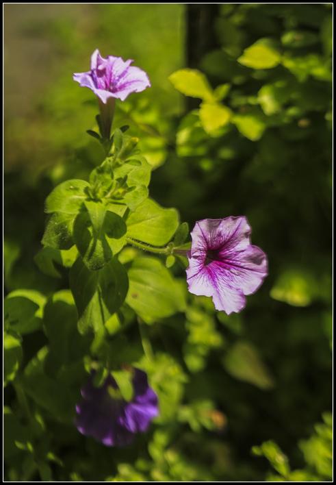 _MG_6400   花蕊紫藤S