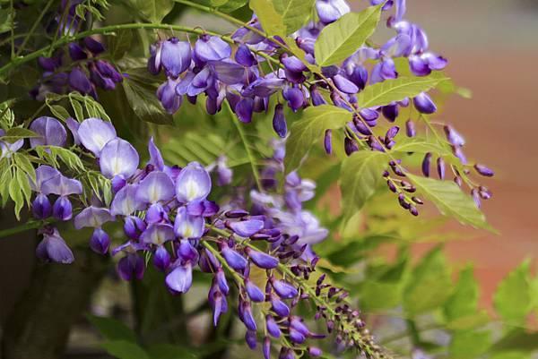 _MG_6451 紫藤