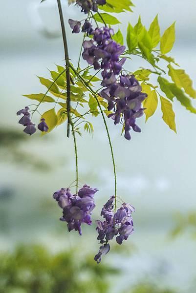 _MG_6458  紫藤