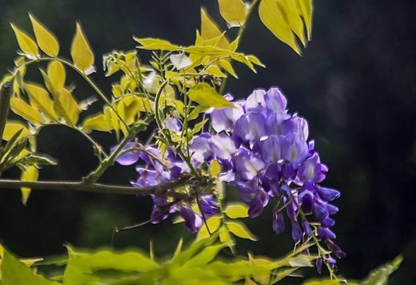_MG_6472 紫藤