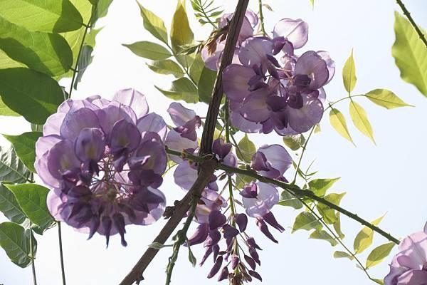 IMG_0265  紫藤