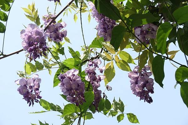IMG_0285  紫藤