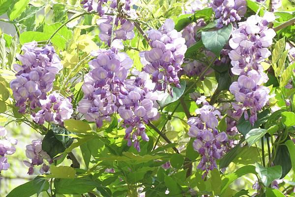 IMG_0294  紫藤