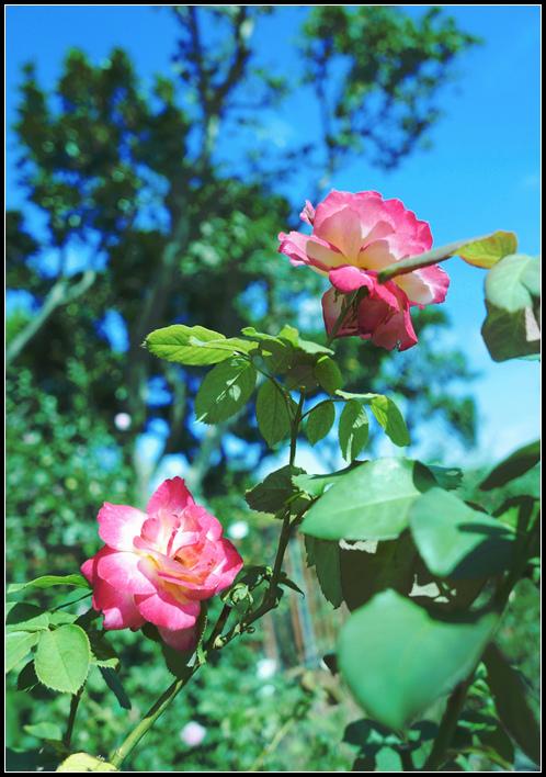 L1050207  A  玫瑰