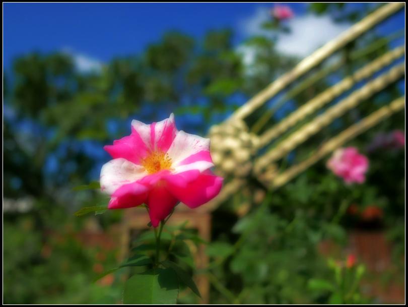 L1050178  A  玫瑰