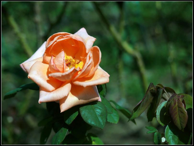 L1050224  A  玫瑰