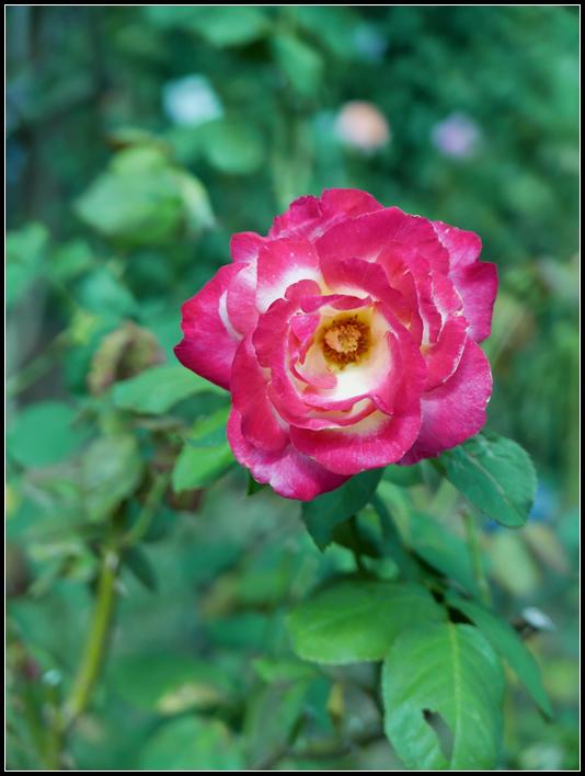 L1050219  A  玫瑰