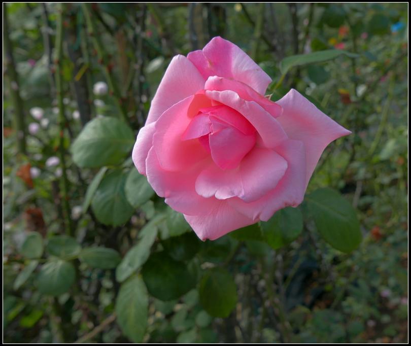 L1050165  A  玫瑰