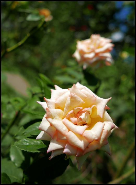 L1050185  A  玫瑰