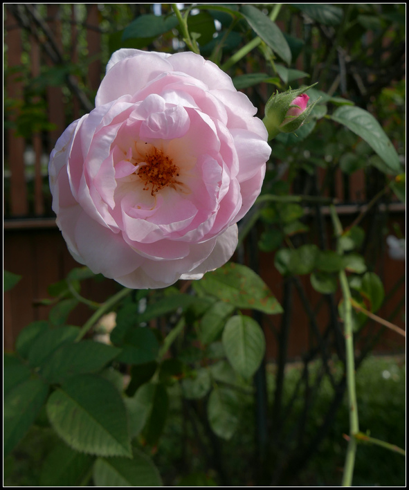 L1050164  A  玫瑰