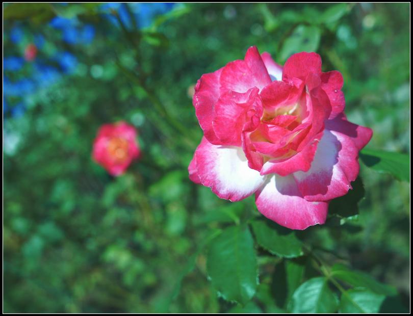 L1050203  A  玫瑰