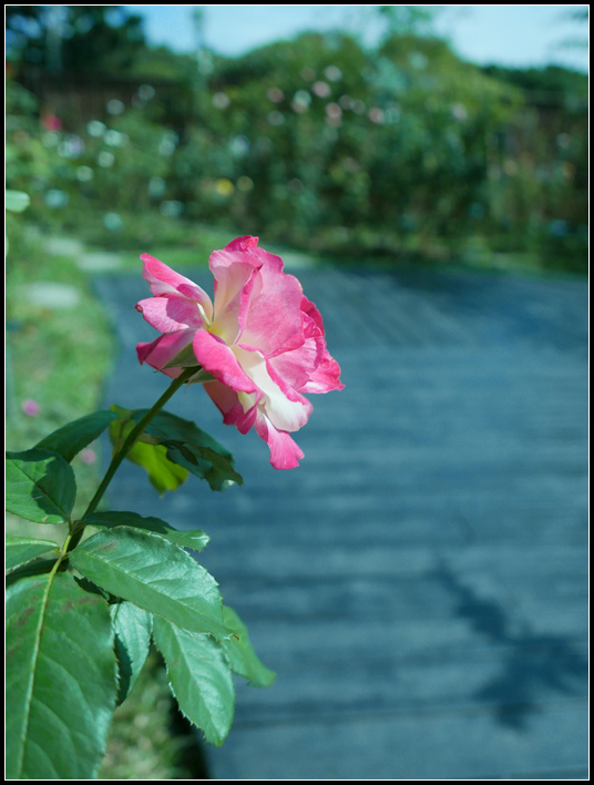 L1050213  A  玫瑰