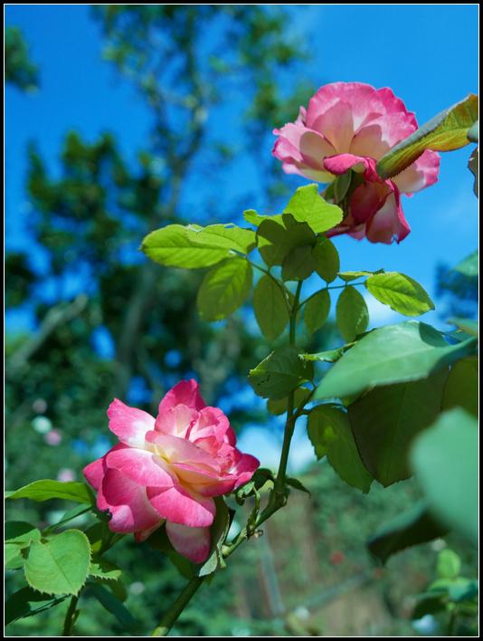 L1050211  A  玫瑰