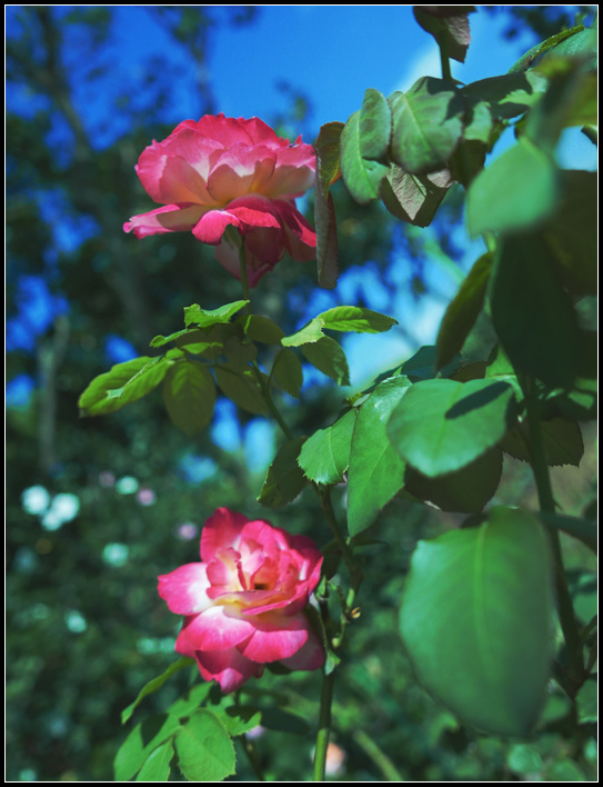 L1050210  A  玫瑰