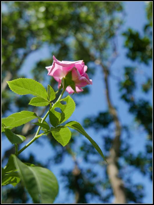 L1050241  A  玫瑰