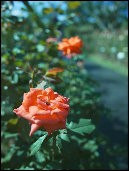 L1050271  A  玫瑰