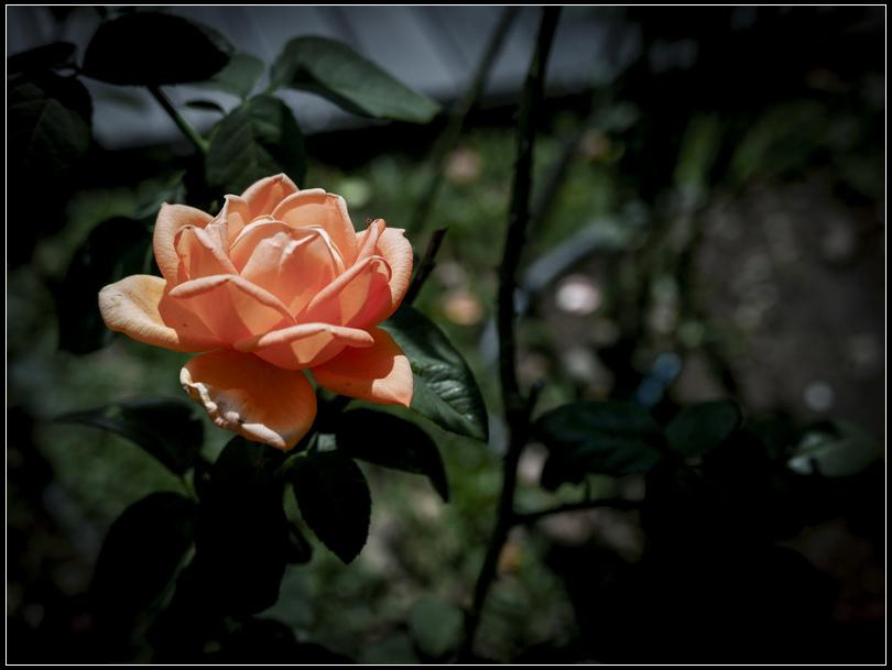 L1050234  A  玫瑰