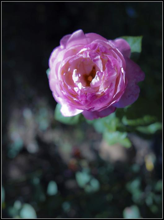L1050261  A  玫瑰  A  玫瑰