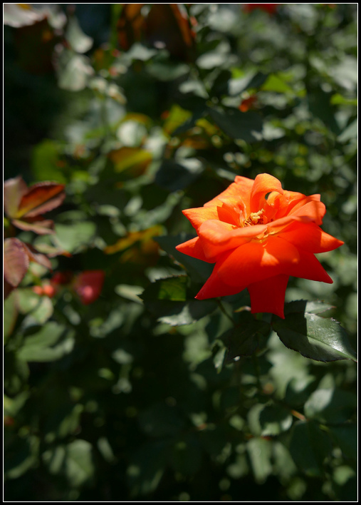 L1050252  A  玫瑰