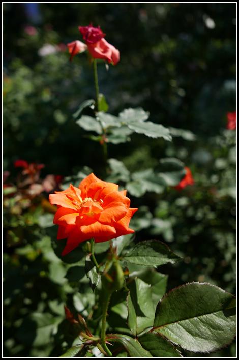 L1050254  A  玫瑰