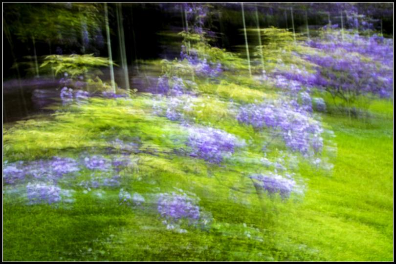 _MG_0808  紫藤 WSS