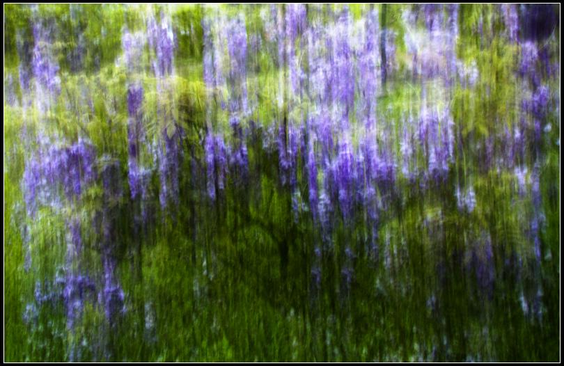 _MG_0815  紫藤 W2016-04-11 17.05.49