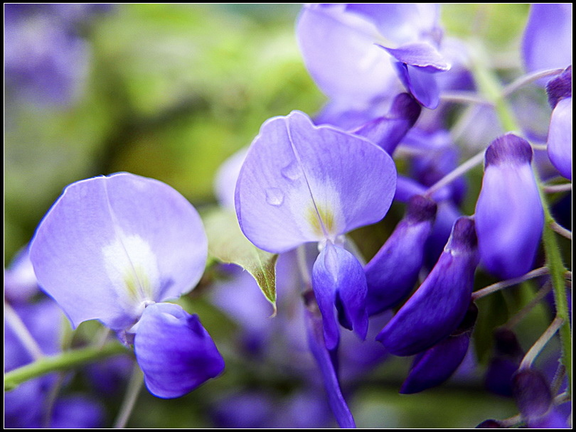 L1860515 紫藤 WSS