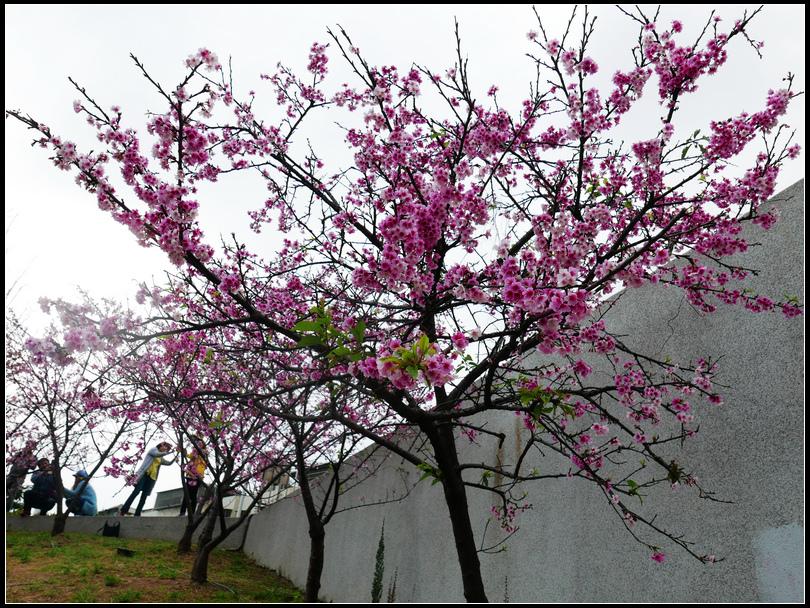 L2040409 東湖櫻花