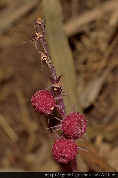 Sciaphila secundiflora-24.jpg