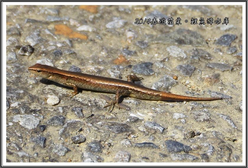 台灣滑蜥02