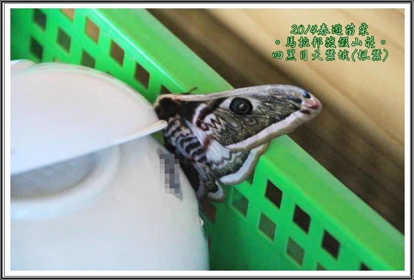 四黑目天蠶蛾01