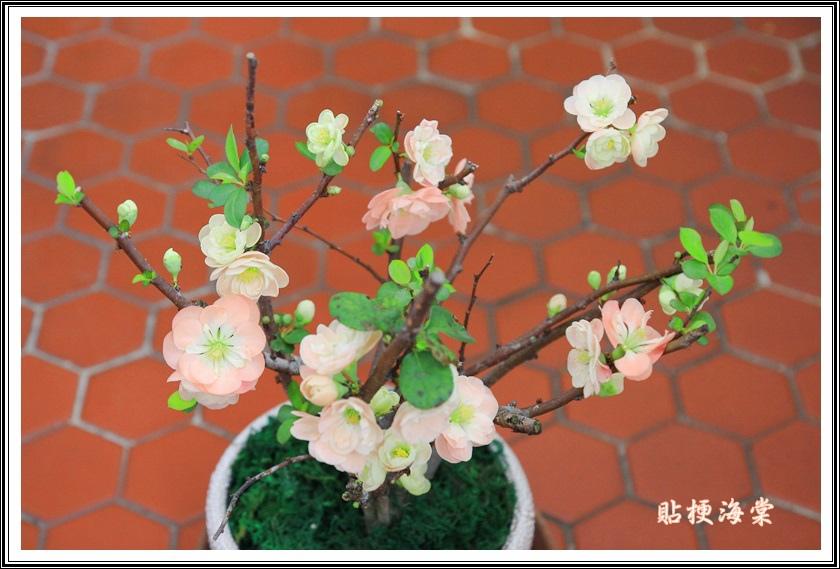 薔薇科-貼梗海棠01
