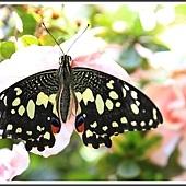 2014無尾鳳蝶成長記錄(2)45