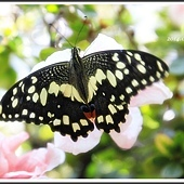 2014無尾鳳蝶成長記錄(2)50