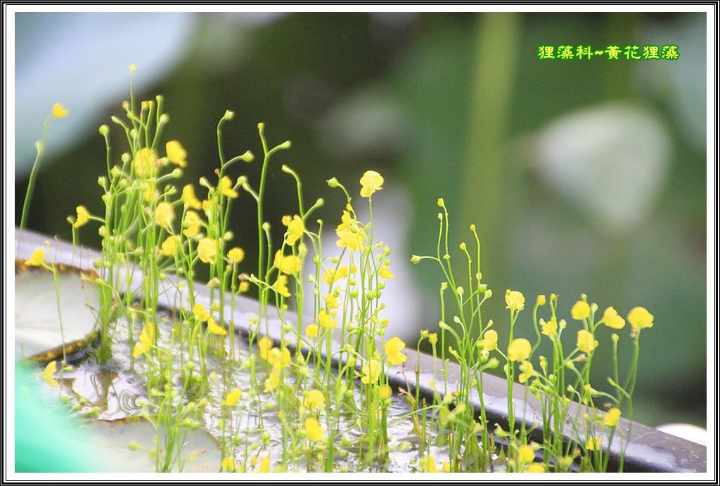 狸藻科~黃花狸藻01