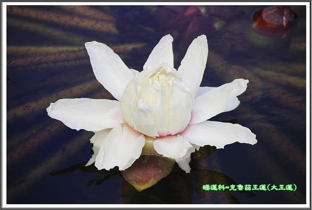 睡蓮科~克魯茲王蓮(大王蓮)06