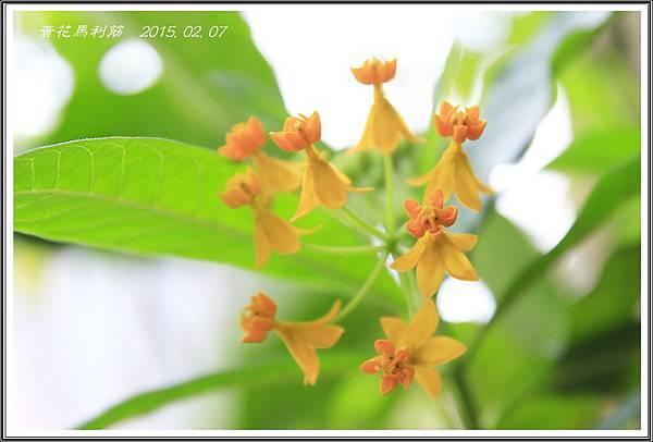 種子盆栽-黃花馬利筋14