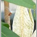 蘿摩科-黃花馬利筋05