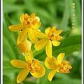 蘿摩科-黃花馬利筋10