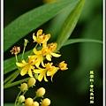 蘿摩科-黃花馬利筋12