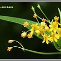 蘿摩科-黃花馬利筋13