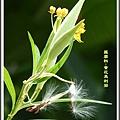 蘿摩科-黃花馬利筋14