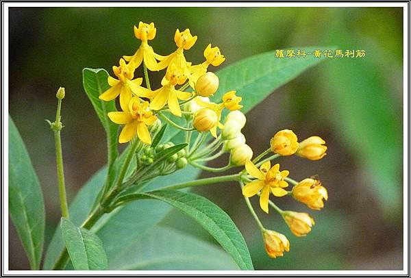 蘿摩科-黃花馬利筋15