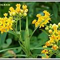蘿摩科-黃花馬利筋18
