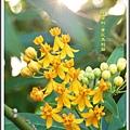 蘿摩科-黃花馬利筋17