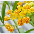 蘿摩科-黃花馬利筋19