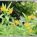 蘿摩科-黃花馬利筋23