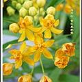 蘿摩科-黃花馬利筋20