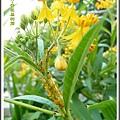 蘿摩科-黃花馬利筋22