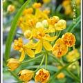 蘿摩科-黃花馬利筋21
